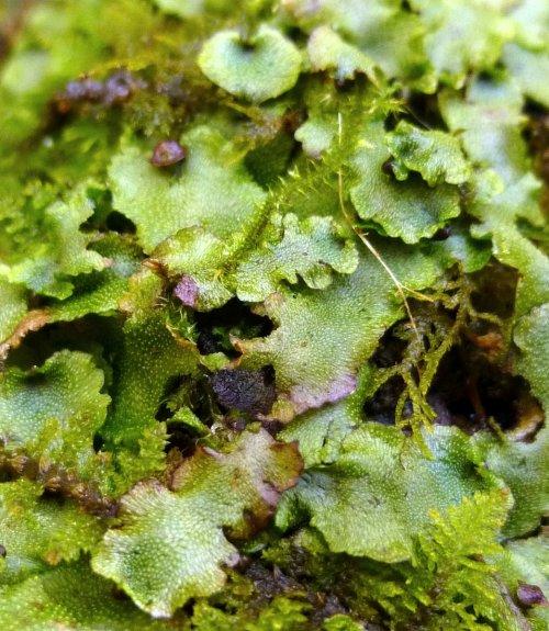 3. Common Liverwort aka Marchantia polymorpha