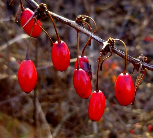 4. Barberry Fruit