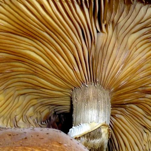 4. Orange Mushroom Gills