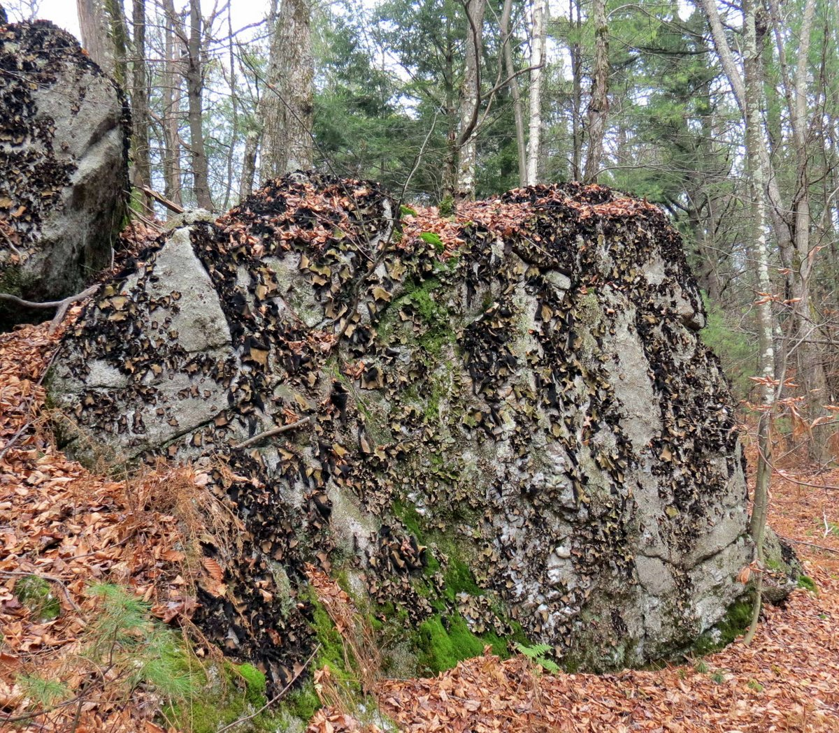 4. Rock Tripe Covered Boulders
