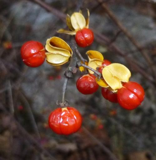 6. Bittersweet Berries