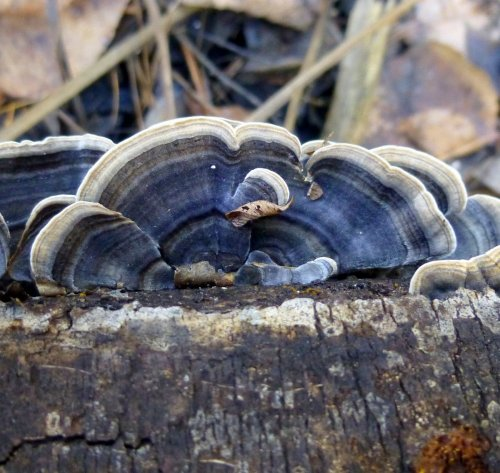 6. Blue Turkey Tail