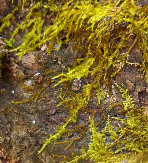 6. Common Fern Moss aka Thuidium delicatulum 2