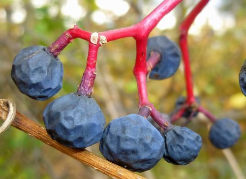 6. Virginia Creeper Berries