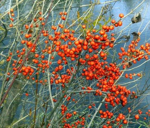 8. Winterberry