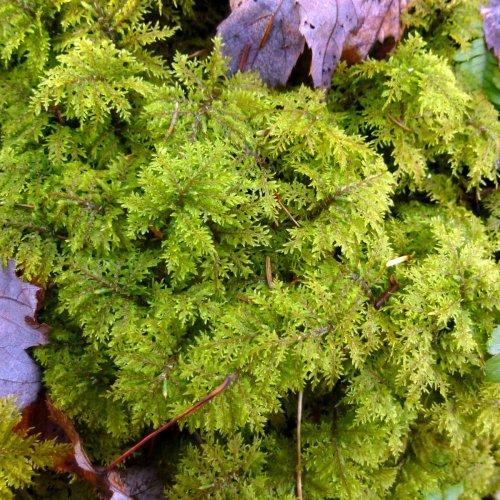 9. Fern Moss aka Thuidium delicatulum