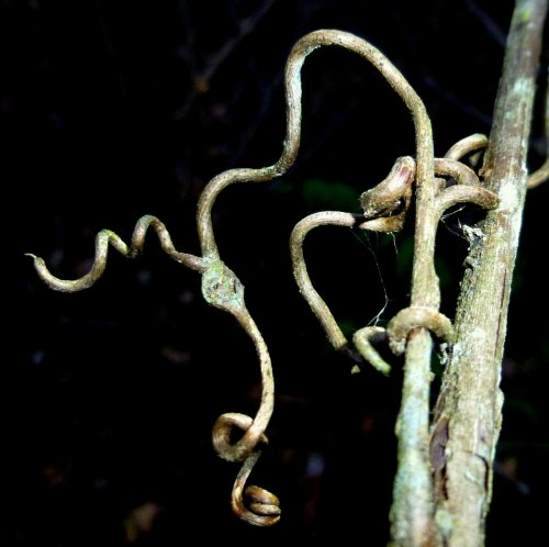 9. Grape Tendril