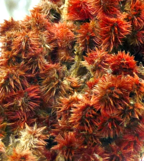 1. Staghorn Sumac  Fruit