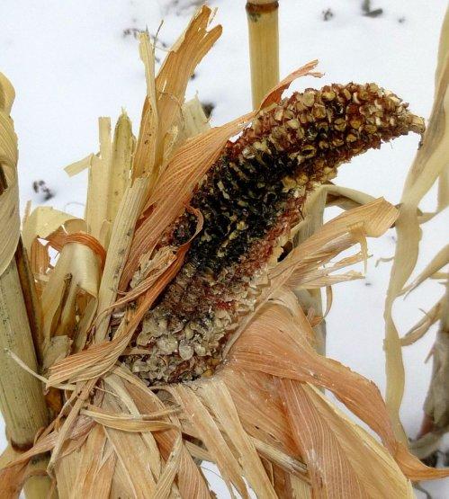 10. Bird Corn