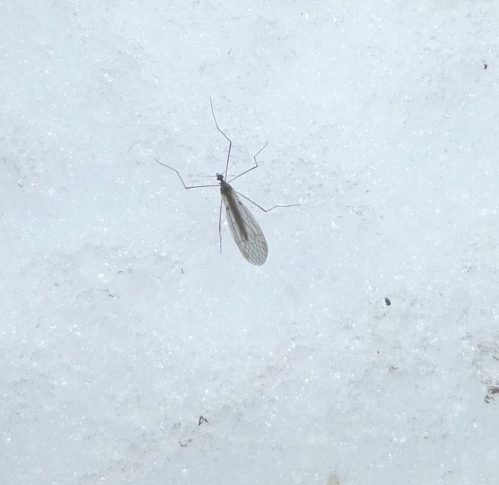 11. Winter Crane Fly aka Trichocera