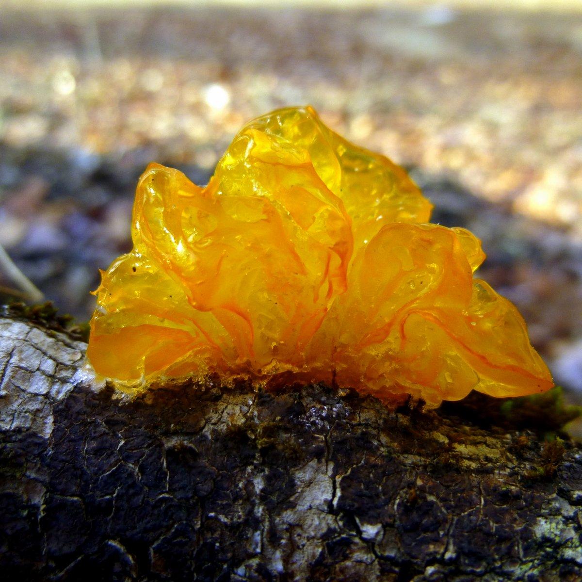 12. Jelly Fungus