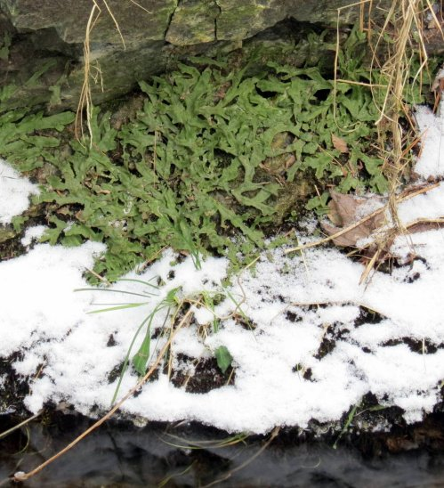 12. Liverwort in Snow