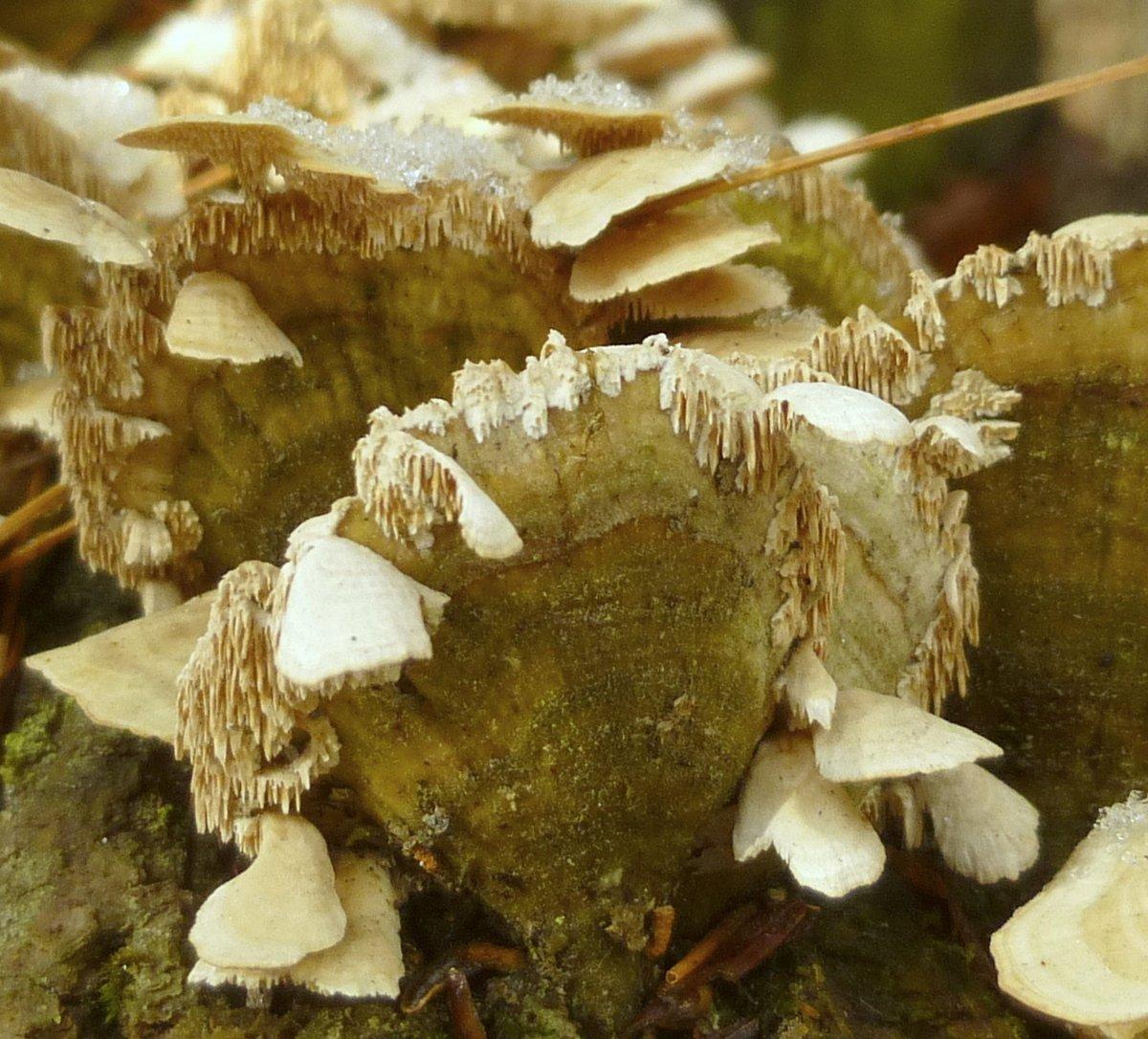 3. Bracket Fungi on Bracket Fungi