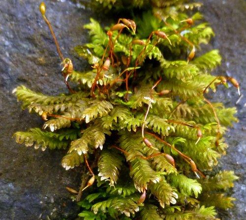4. Fan Pocket Moss aka Fissidens dubius