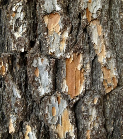 4. White Pine Bark