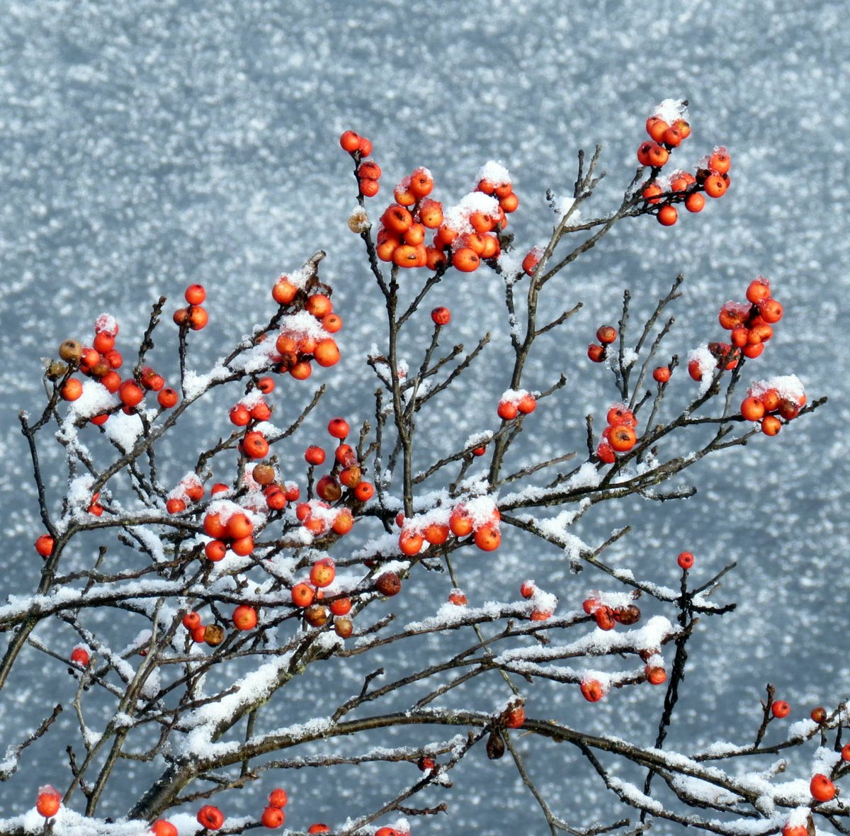 5. Winterberries