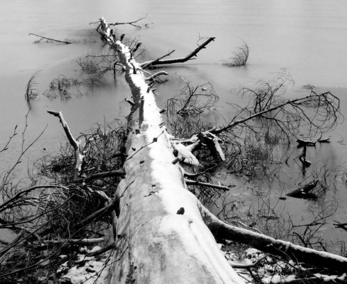 6. Dead Tree in Ice in Black and White