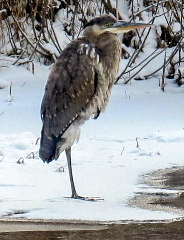 6. GBH in Snow