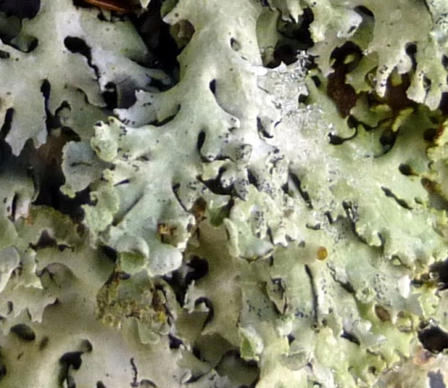 7. Heather Rag Lichen Closeup