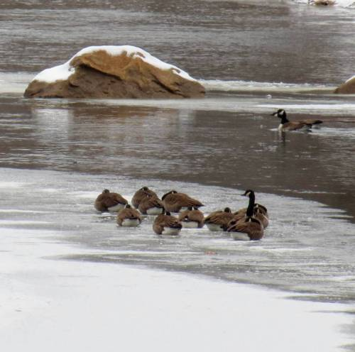 9. Geese on Ice