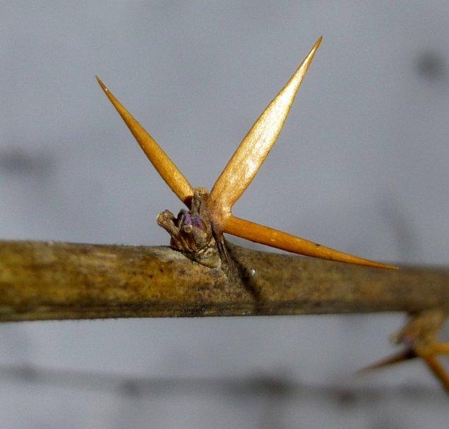 1. European  Barberry Thorns aka Berberis vulgaris