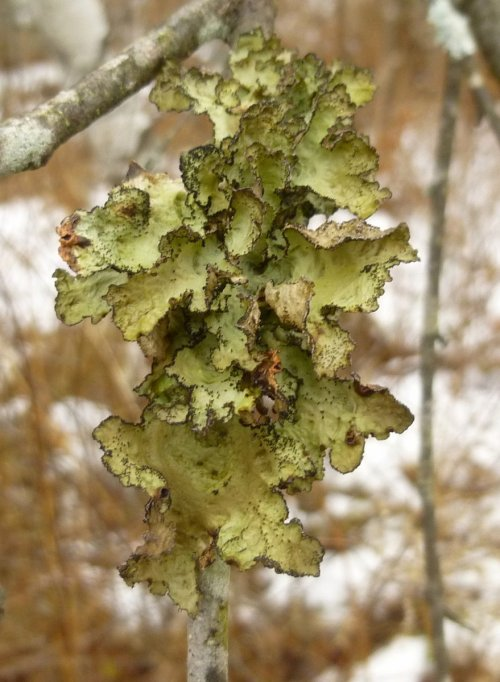 1. Foliose Lichen On Birch