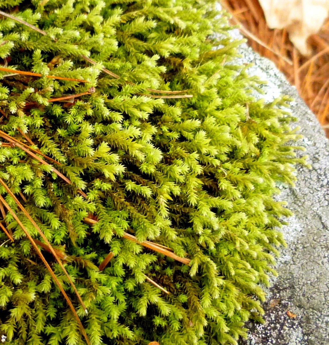 10. Hedwigia cillata Moss