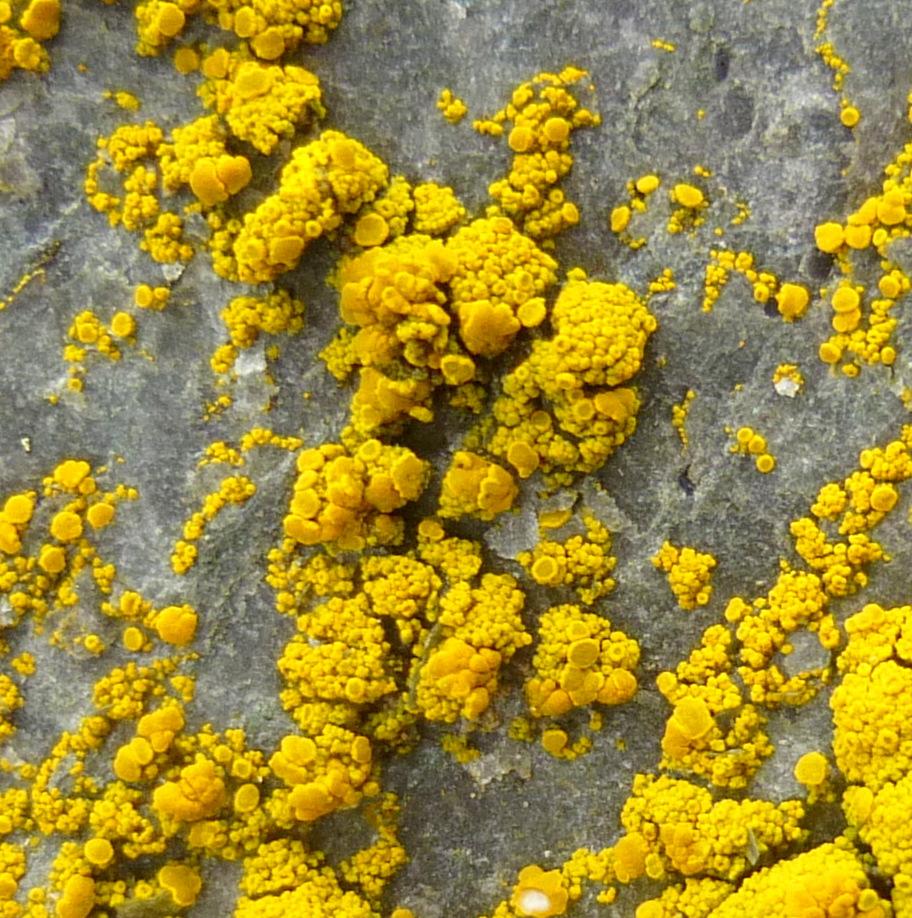 13. Common Goldspeck Lichen aka Candelariella vitellitta