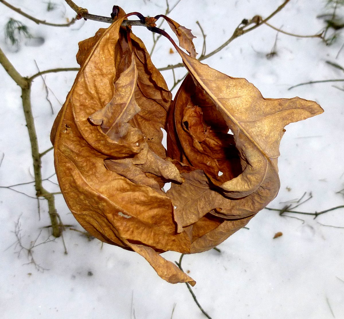 13. Oak Leaves