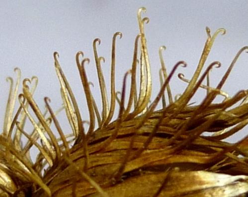 14. Burdock Seeds