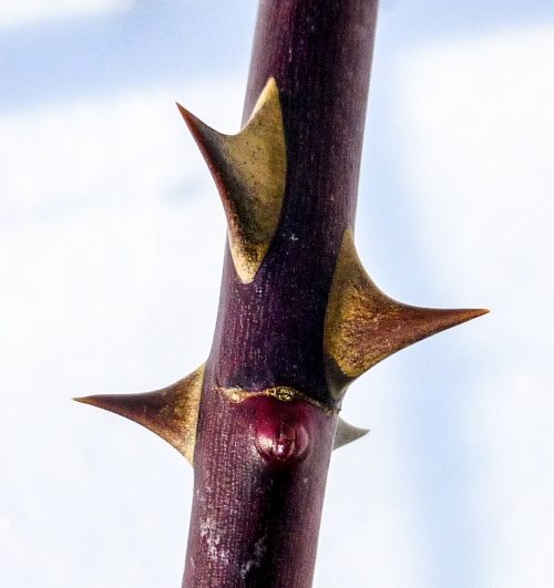 2. Blackberry Thorns