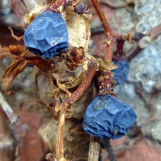 2. Boston Ivy Berries