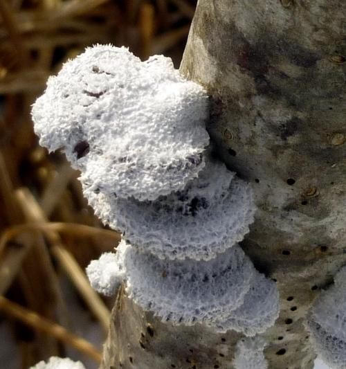 2. Split Gill Mushroom