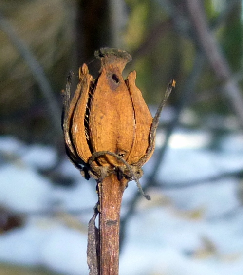 4. Indian Pipe Seed Pod