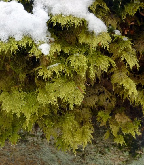 5. Moss and Snow