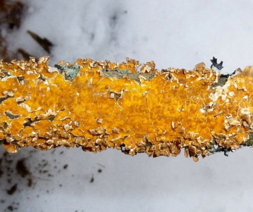 5. Orange Crust Fungus aka Stereum complicatum