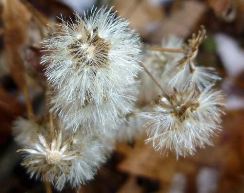 6. Aster Seed Heads
