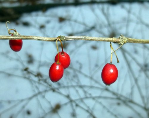 7. Barberry Fruit