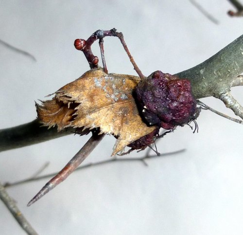 7. Hawthorn Fruit