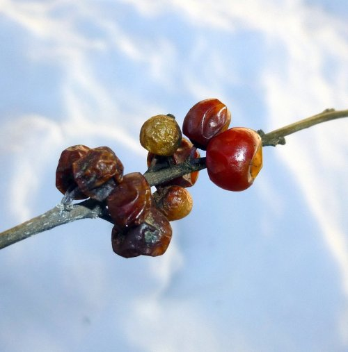 8. Winterberry Fruit