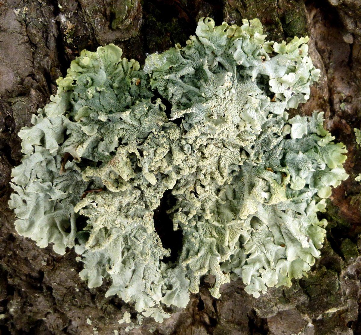 9. Green Shield Lichen