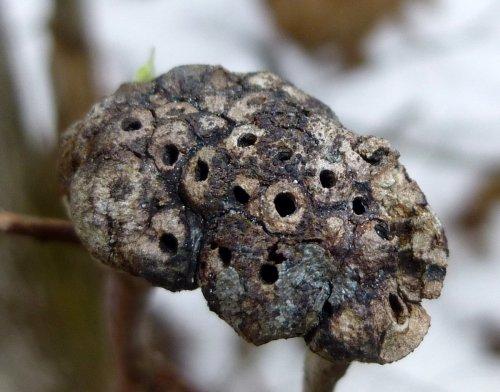1. Gouty Oak Gall