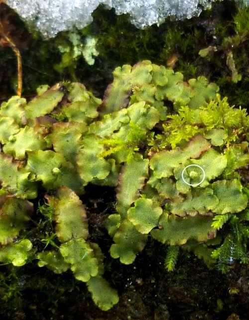 10. Narrow Mushroom Headed Liverwort