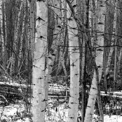 11. Gray Birches in Winter