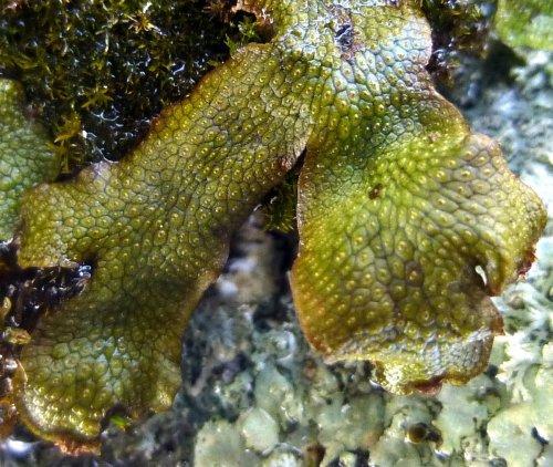 11. Snakeskin Liverwort