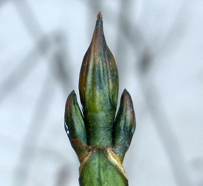 11. Striped Maple Buds 2