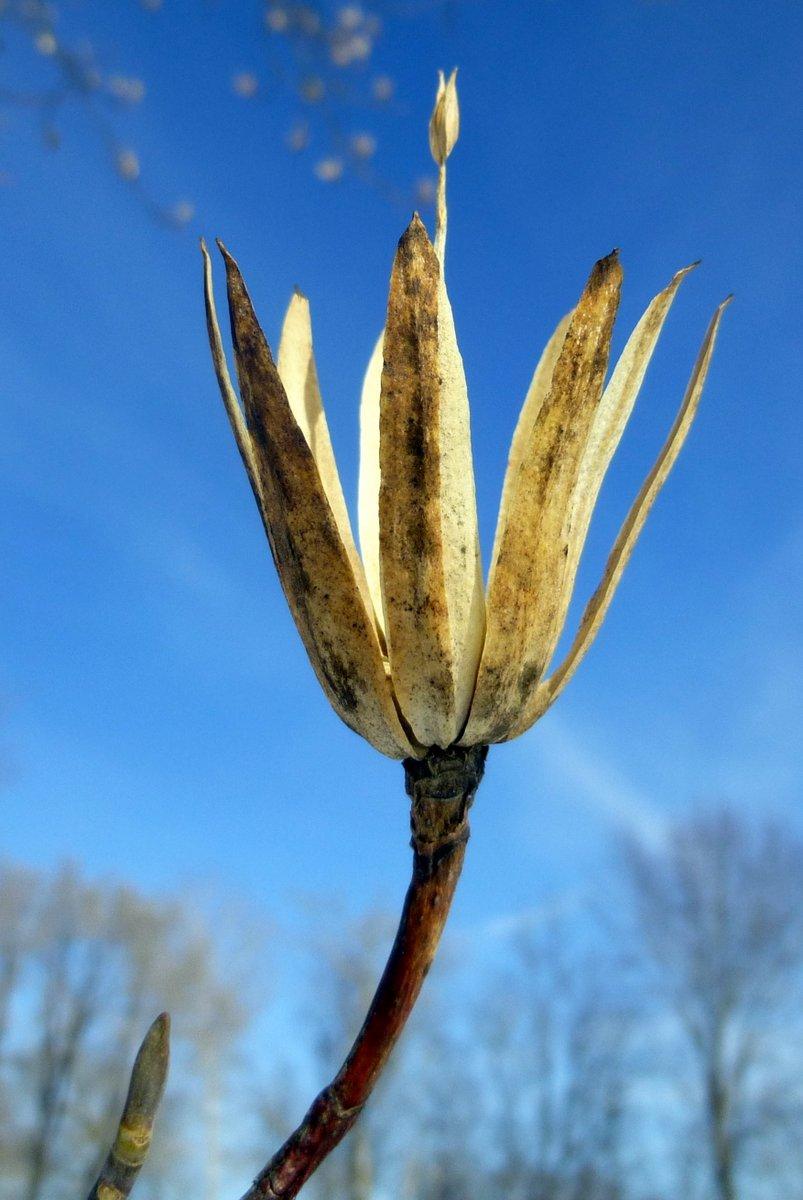 11. Tulip Tree Bracts