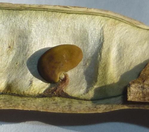 12. Black Locust Seed