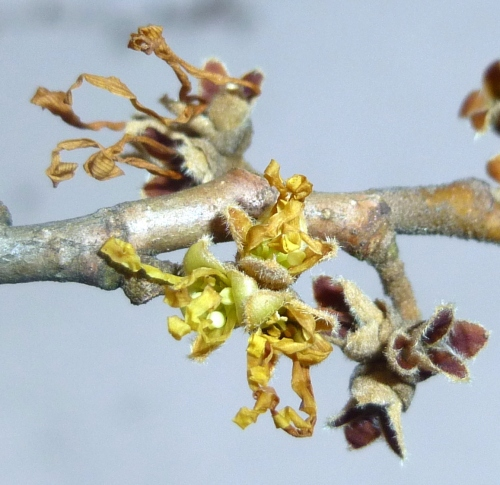 12. Vernal Witch Hazel