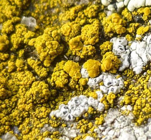 13. Common Goldspeck Lichen